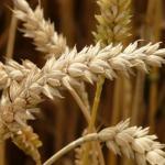 Frumento duro, decodificato il genoma – nuove prospettive per la sicurezza  e qualità alimentare