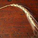 nazzareno strampelli, le sementi elette e il grano duro cappelli