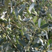 Prime olive da redoro, eccellenza veneta